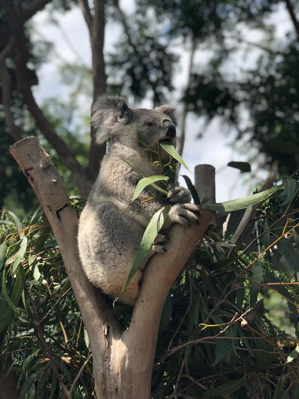 【202002 澳洲樹熊之旅】Day 3 – 與樹熊親密接觸